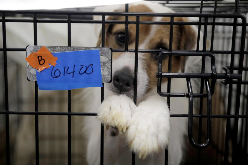 A Parson Russell terrier, one of many terriers confiscated from a home in Kingwood, N.J., sits in a kennel at St. Hubert's Animal Welfare Center after being treated, Friday, June 14, 2019, in Madison, N.J. Law enforcement officers and animal welfare groups went to the Kingwood home Tuesday to remove the dogs, which were mostly Russell terriers. Officials said the animals seemed to have had limited human contact and minimal to no veterinary care. No charges have been filed, but officials say they're continuing to investigate. (AP Photo/Julio Cortez)