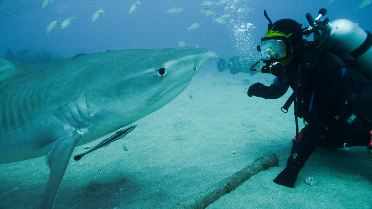 Shark Expert, Greg Skomal comes face to face with a tiger shark off Florida. Discovery Channel Shark Week 2015 -
