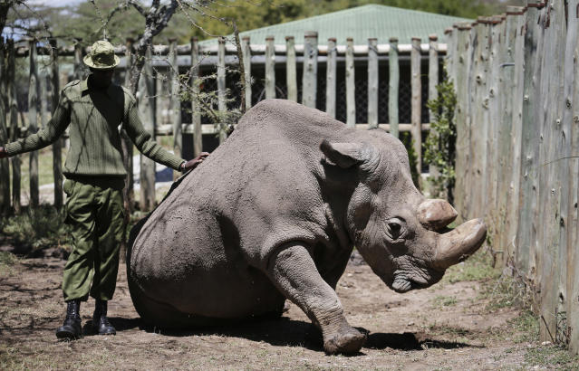"In this photo taken May 3, 2017, a ranger takes care of Sudan, the world's last male northern white rhino, at the Ol Pejeta Conservancy in Laikipia county in Kenya. Sudan has died after ""age-related complications"" researchers announced Tuesday, saying he ""stole the heart of many with his dignity and strength."" <span> </span>(AP Photo)"