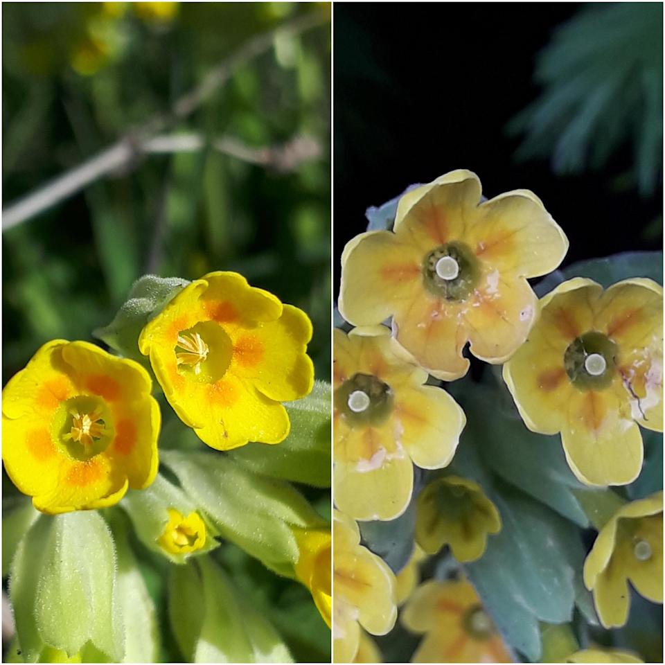 The two types of cowslip: S morph (left) with stamen or male parts of the flower easy to spot, and L morph (right) with female part or stigma visible (Plantlife/PA)