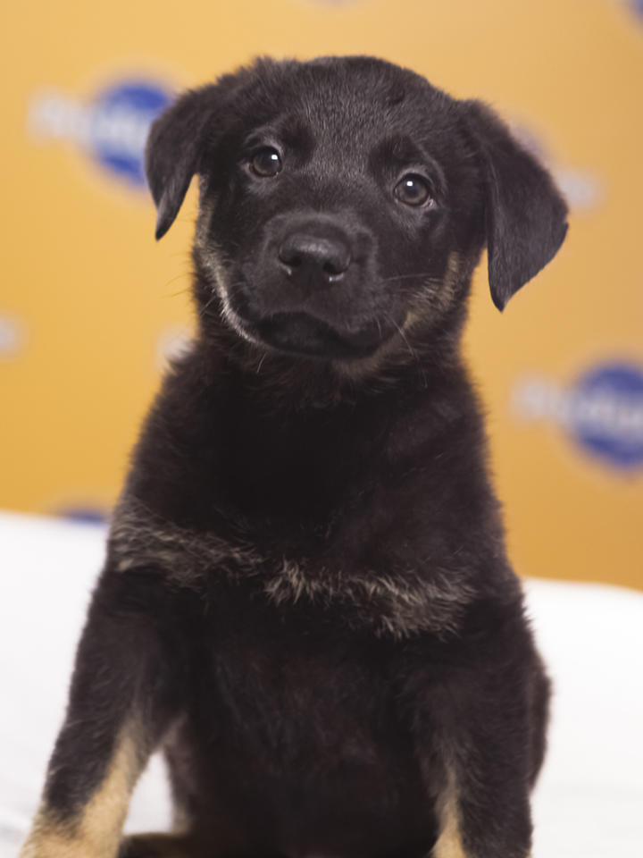 Name: TuckBreed(s): German Shepherd/Pit bull mixSex: MaleAge: 10 weeksFun Fact: The only black pup in his litter of 6Adoption Organization: Bergen County Animal Shelter and Adoption Center