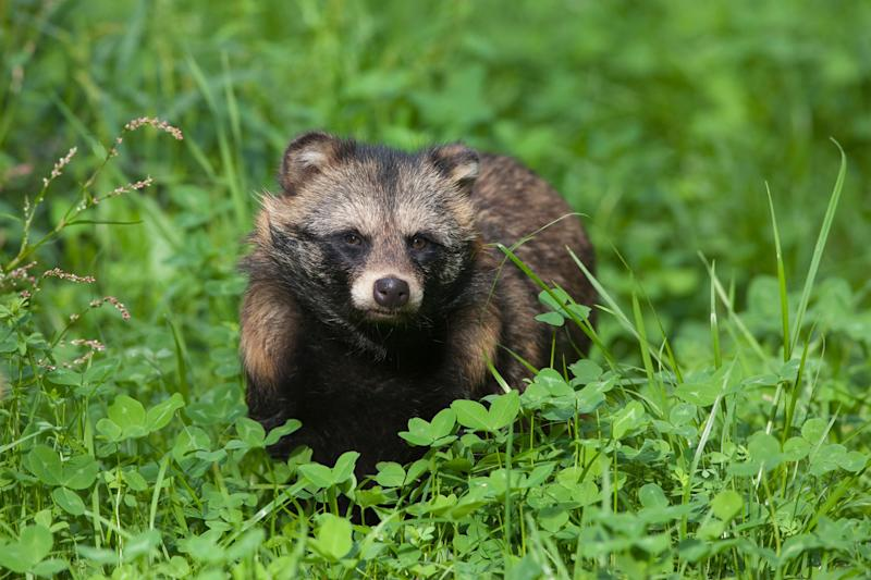 Portrait of a Raccoon Dog (Nyctereutes procyonoides), Hesse, Germany