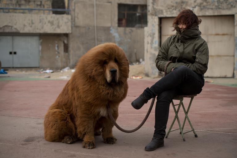 A Tibetan mastiff dog is displayed for sale at a mastiff show in Baoding, Hebei province, south of Beijing on March 9, 2013
