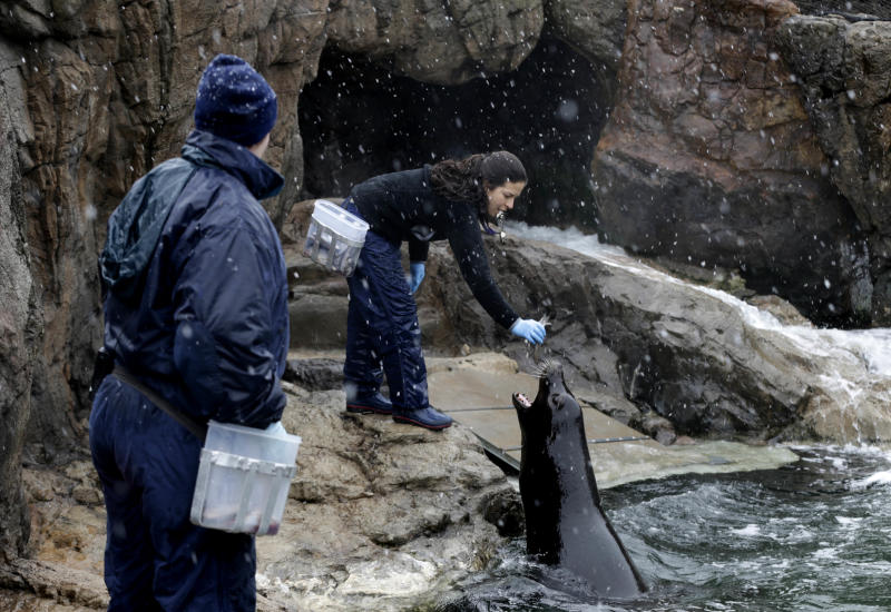 New York Aquarium employees, including Cristina Mendoca, right, feed and train sea lions as snow falls at the aquarium in New York, Monday, March 25, 2013. A wide-ranging storm is hitting the East Coast after blanketing the Midwest and burying thoughts of springtime weather under a blanket of heavy wet snow and slush, though less snow was predicted to fall as the storm moves eastward. (AP Photo/Seth Wenig)