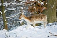 <p>How magical and enchanting is this fallow deer in Knole park, Sevenoaks, Kent?</p>