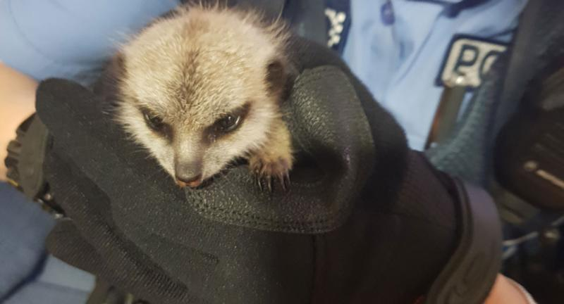 Missing meerkitten back at zoo