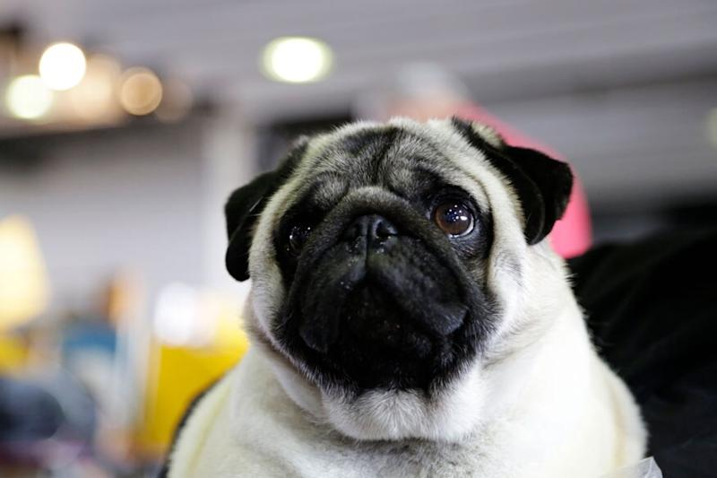 Pug Quarantining in UP with Family Distressed as Favourite Dog Food Runs Out