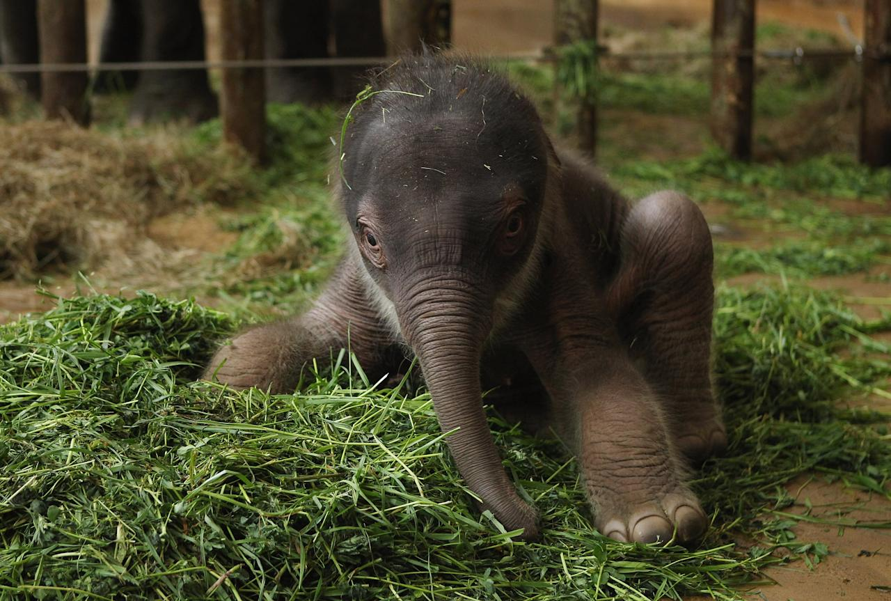 A baby Asian elephant, born only two days before, gets used to his wobbly legs while exploring his enclosure at Tierpark Berlin zoo on May 10, 2012 in Berlin, Germany. The male elephant calf, who does not have a name yet, weighs 102kg and is 91cm tall.  (Photo by Sean Gallup/Getty Images)