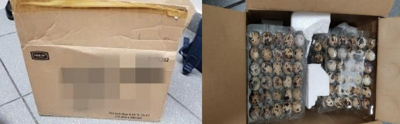 ICA officers detected the eggs in a box at Changi Airport and referred the case to the Agri-Food and Veterinary Authority of Singapore