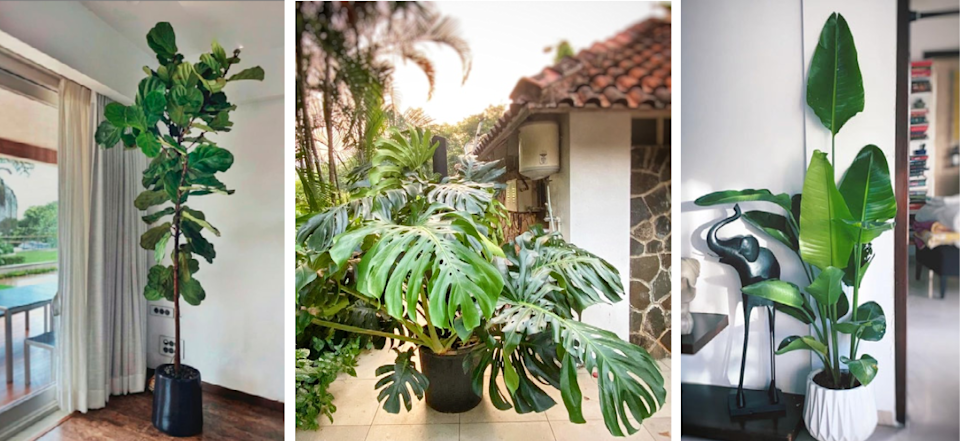 This year's IT plants include the fiddle leaf fig, monstera deliciosa and bird of paradise. Images: Courtesy Plant People
