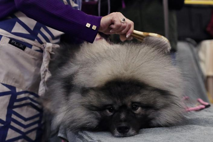 Couvee, a keeshond breed, is groomed during the 143rd Westminster Kennel Club Dog Show in New York, Feb. 11, 2019. (Photo: Shannon Stapleton/Reuters)