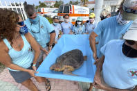 "In this photo provided by the Florida Keys News Bureau, Bette Zirkelbach, front left, and Richie Moretti, front right, manager and founder respectively of the Florida Keys-based Turtle Hospital, carry ""Sparb,"" a sub-adult loggerhead sea turtle, Thursday, April 22, 2021, to the Atlantic Ocean in Marathon, Fla. The reptile was found off the Florida Keys in late January 2021 with severe wounds and absent a front right flipper. It was not expected to survive but was treated with a blood transfusion, extensive wound care, broad-spectrum antibiotics, IV nutrition and laser therapy. The turtle made a full recovery and was returned to the wild in conjunction with Thursday's Earth Day celebrations. (Andy Newman/Florida Keys News Bureau via AP)"