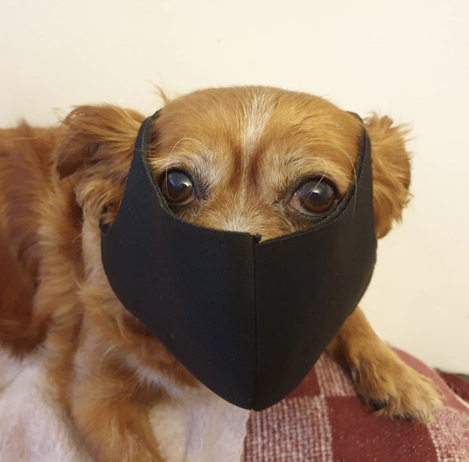 This little dog's owner said they were preparing for face masks to become mandatory at shops. Source: Instagram/pip.of.the.day