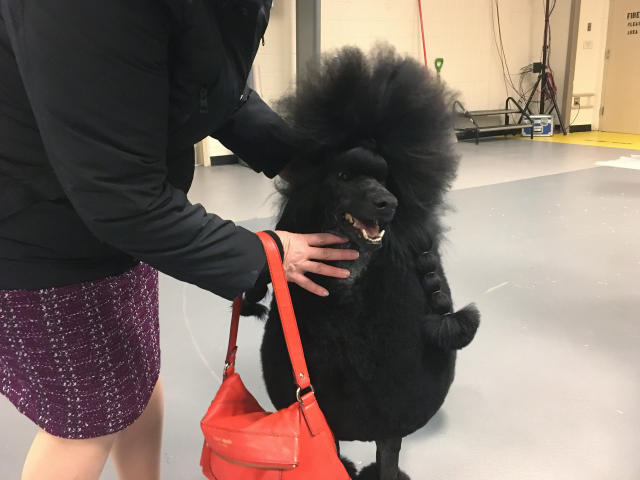 Siba the standard poodle won the nonsporting group at the Westminster Kennel Club on Monday, Feb. 10, 2020. She advanced to the best in show final ring Tuesday night at Madison Square Garden in New York. (AP Photo/Ben Walker)