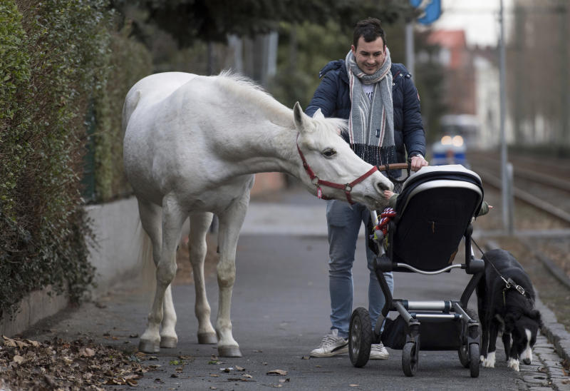 22-year-old Arabian mare Jenny walks home from her daily tour in the surroundings of Frankfurt, Germany, March 8, 2019. Jenny's owner opens the stable door for the horse every morning and the animal decides for itself where she wants to spend the day. (Boris Roessler/dpa via AP)