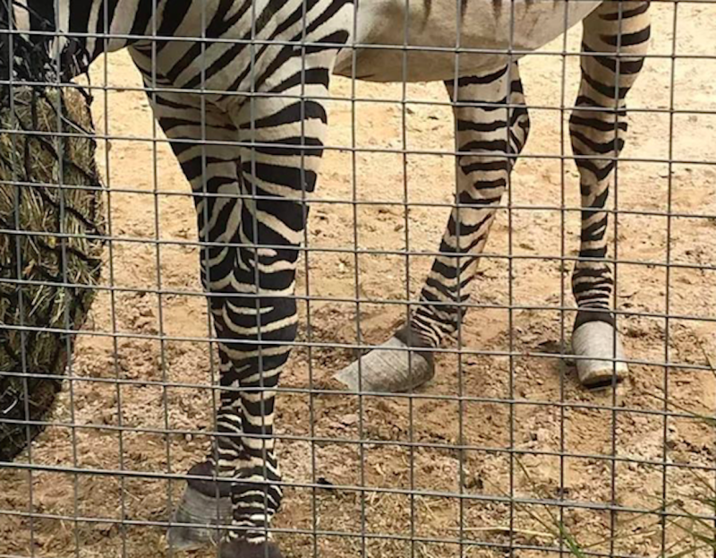 Urias the zebra's hooves were slanted (Picture: Heather Moffett/Facebook)