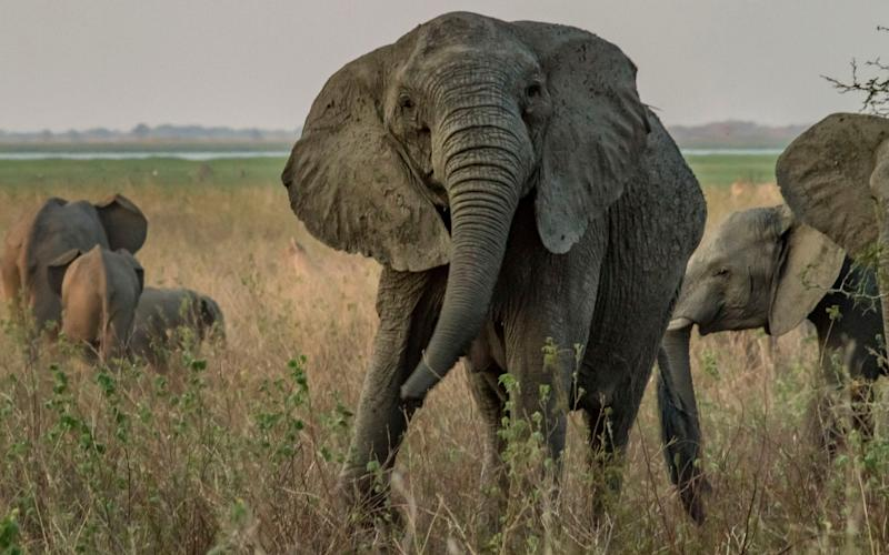 Nearly one third of females in Gorongosa National Park in Mozambique are now tuskless  - Caters News Agency