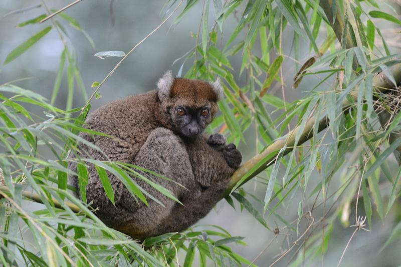 Madagascar's greater bamboo lemur was long thought to have been extinct until it was rediscovered in 1986 (AFP Photo/Russell A. Mittermeier)