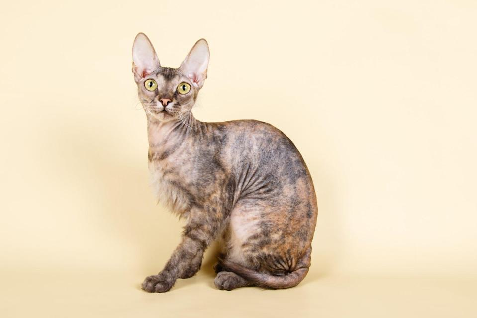 "<p>Cat owners can agree that owning a cat with cropped, flat ears is rare. However, the cropped (almost smashed-like) ear is a distinguishing characteristic of the <a href=""https://icatcare.org/advice/ukrainian-levkoy/"" rel=""nofollow noopener"" target=""_blank"" data-ylk=""slk:Ukrainian Levkoy"" class=""link rapid-noclick-resp"">Ukrainian Levkoy</a> bred between a Scottish fold and Donskoy.</p>"