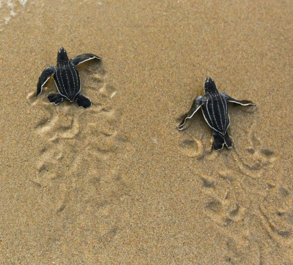 Two leatherback hatchlings make their way to the ocean. 90 percent of all sea turtle nesting takes place in Florida. (Ben Hicks, Sea Turtle Conservancy)
