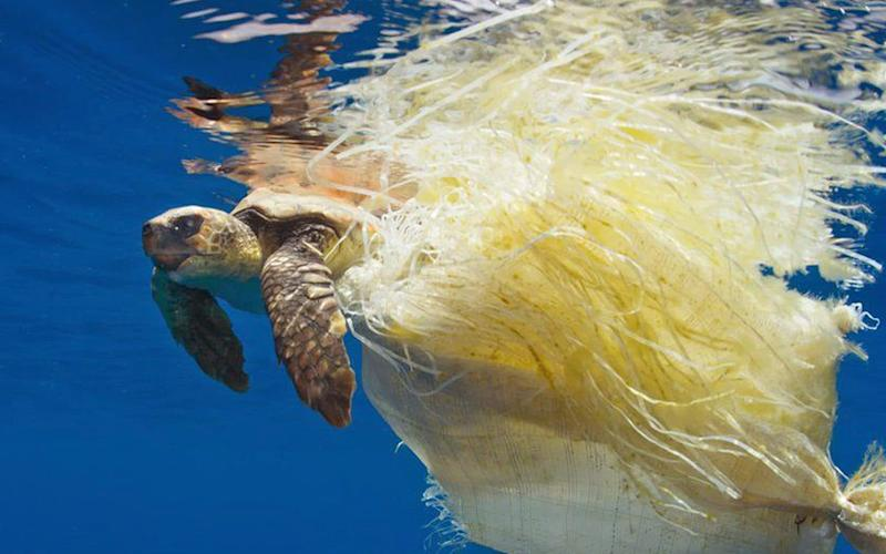 A loggerhead turtle trapped in plastic - APEX