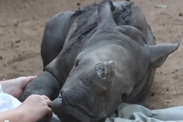 Orphaned baby rhino cuddles keepers in South Africa (video)
