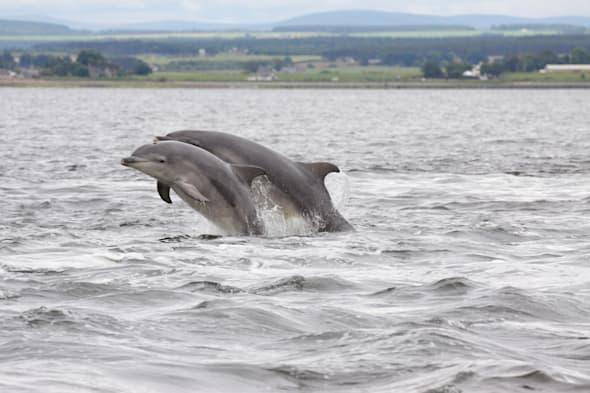 Bottlenose dolphins (Tursiops truncatus), mother and calf leaping, jumping, Chanonry Point, Moray Firth, Scotland, UK