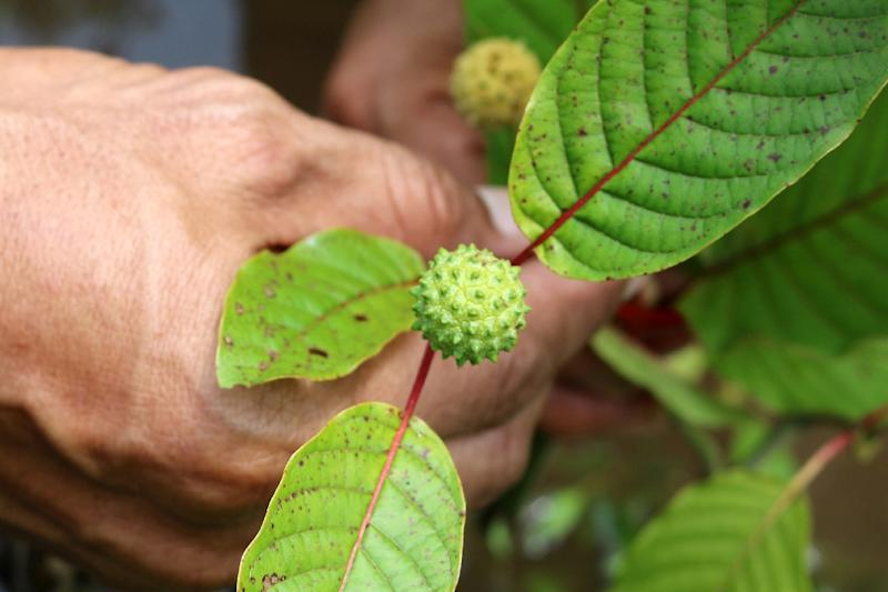 The sweltering backwaters of Indonesian Borneo have become the unlikely ground zero for the global production and export of kratom, a tree leaf hailed by some as a miracle cure for everything from opioid addiction to anxiety (AFP Photo/Louis Anderson)