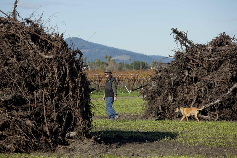 In this photo taken Thursday, Dec. 13, 2012 vineyard manager Chris Pedemonte walks with his dog between Cabernet Sauvingnon vines that were recently pulled up at Round Pond Estate in Rutherford, Calif. Napa Valley, one of California's premier wine growing regions, has an uncommon problem these days: Not enough new grape root stock to go around. Commercial nurseries were caught short by a trifecta of developments: aging vines planted after a deadly phylloxera outbreak of the 80s, the demand created by an improving economy and move toward grape plantings that allow some mechanization. (AP Photo/Eric Risberg)