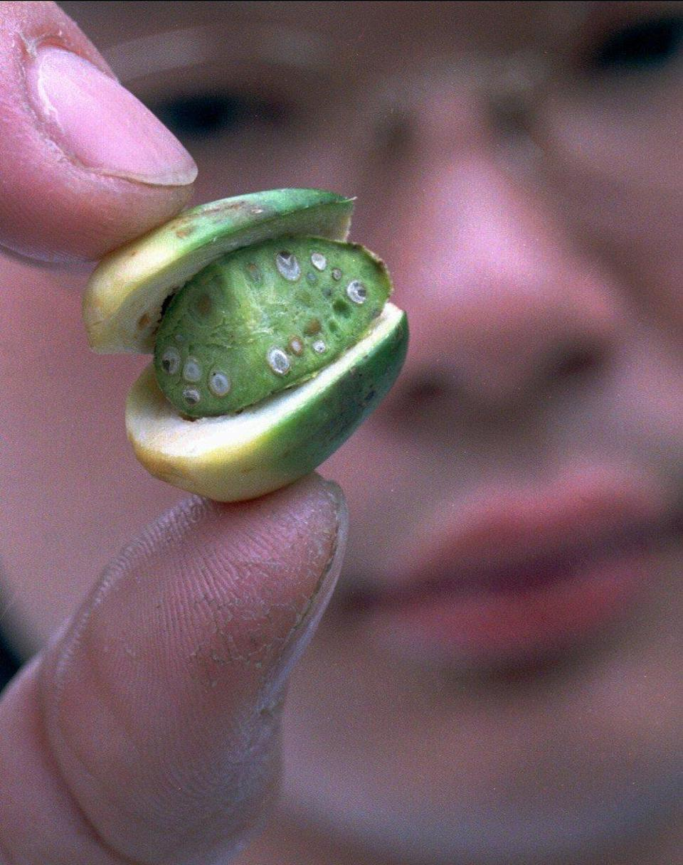 A close up of a Taiwanese betel nut. The island has significantly reduced usage through a public health campaign. Photo: AP