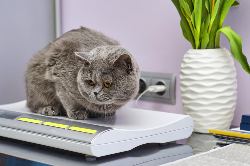 British Shorthair cat on scales in veterinarian clinic