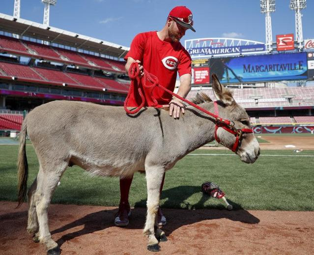 "<a class=""link rapid-noclick-resp"" href=""/mlb/players/8628/"" data-ylk=""slk:Zack Cozart"">Zack Cozart</a> and Donald the donkey (his gift from <a class=""link rapid-noclick-resp"" href=""/mlb/players/7946/"" data-ylk=""slk:Joey Votto"">Joey Votto</a>) are headed to Los Angeles. (AP)"