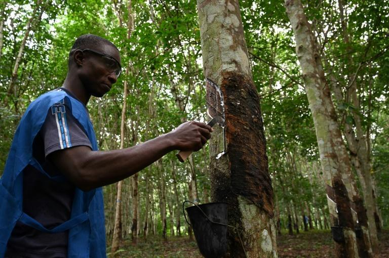 A trainee learns how to bleed a hevea tree to harvest latex rubber