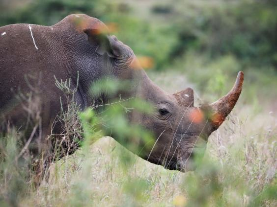 Officials in Botswana fear up to 10 per cent of the country's 500 rhinoceroses may have been wiped out since March. (Reuters)
