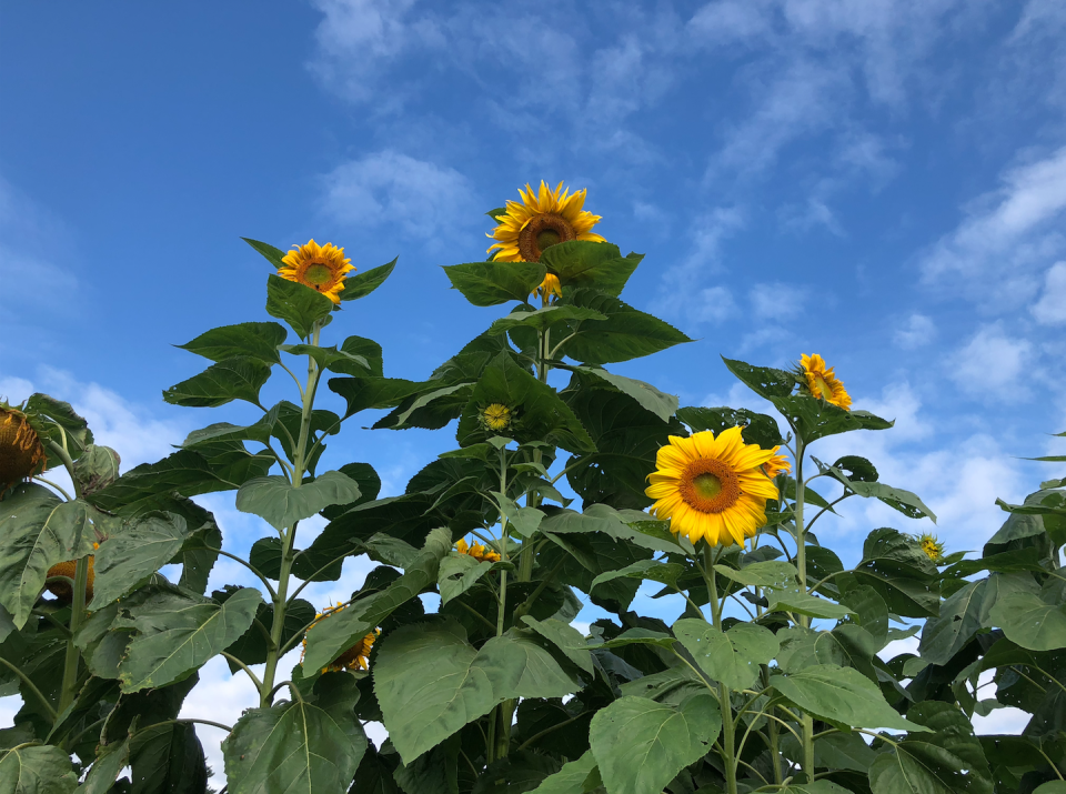 """<p>In August and September, guests at Woodstock Inn & Resort can expect to see thousands of gorgeous blooming sunflowers at the nearby Billings Farm & Museum. There, just a half-mile walk from the hotel, Master Gardener Benjamin Pauly has created the first annual Sunflower House, a series of five artful, sunflower-filled """"rooms"""" and hallways that you and your family can explore together. </p><p><a class=""""link rapid-noclick-resp"""" href=""""https://go.redirectingat.com?id=74968X1596630&url=https%3A%2F%2Fwww.tripadvisor.com%2FHotel_Review-g60897-d115891-Reviews-Woodstock_Inn_Resort-Woodstock_Vermont.html&sref=https%3A%2F%2Fwww.countryliving.com%2Flife%2Ftravel%2Fg21937858%2Fsunflower-fields-near-me%2F"""" rel=""""nofollow noopener"""" target=""""_blank"""" data-ylk=""""slk:PLAN YOUR TRIP"""">PLAN YOUR TRIP</a></p>"""