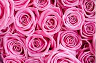 """<p>A light blush hints at grace, but a more intense hue signifies """"gratitude and appreciation,"""" according to <a href=""""https://go.redirectingat.com?id=74968X1596630&url=http%3A%2F%2Fwww.teleflora.com%2Ffloral-facts%2Frose-color-meaning&sref=https%3A%2F%2Fwww.goodhousekeeping.com%2Fholidays%2Fvalentines-day-ideas%2Fg1352%2Frose-color-meanings%2F"""" rel=""""nofollow noopener"""" target=""""_blank"""" data-ylk=""""slk:Teleflora"""" class=""""link rapid-noclick-resp"""">Teleflora</a>.</p><p><a class=""""link rapid-noclick-resp"""" href=""""https://go.redirectingat.com?id=74968X1596630&url=https%3A%2F%2Fwww.bloomsybox.com%2Fproducts%2Fdark-pink-breathless-rose-by-martha-stewart%3Fvariant%3D18510486044787&sref=https%3A%2F%2Fwww.goodhousekeeping.com%2Fholidays%2Fvalentines-day-ideas%2Fg1352%2Frose-color-meanings%2F"""" rel=""""nofollow noopener"""" target=""""_blank"""" data-ylk=""""slk:SHOP DARK PINK ROSES"""">SHOP DARK PINK ROSES</a></p>"""
