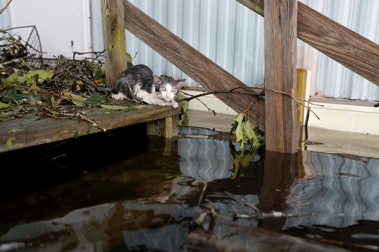 A soaked cat rests at the entrance to a trailer home after swimming there through floodwaters, before eventually being rescued, as the Northeast Cape Fear River breaks its banks after Hurricane Florence in Burgaw, North Carolina, U.S., September 17, 2018. REUTERS/Jonathan Drake