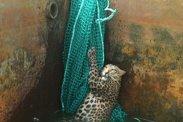 sree: Leopard falls in reservoir tank, grabbed onto a net and leaped out to safety