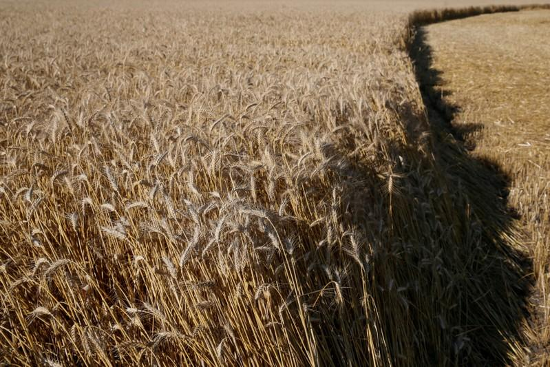 FILE PHOTO: Wheat field is pictured in Kiev region