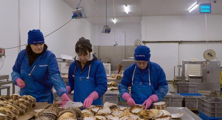 Three workers process shellfish in overalls.