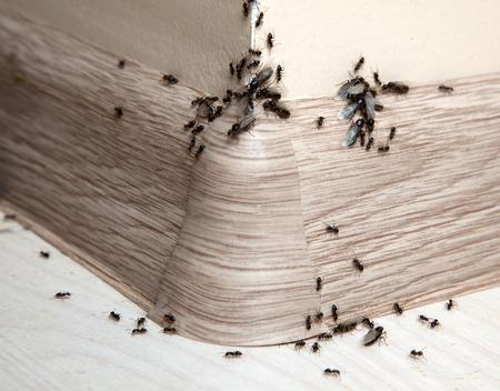 72265270 - ants in the house on the baseboards and wall angle