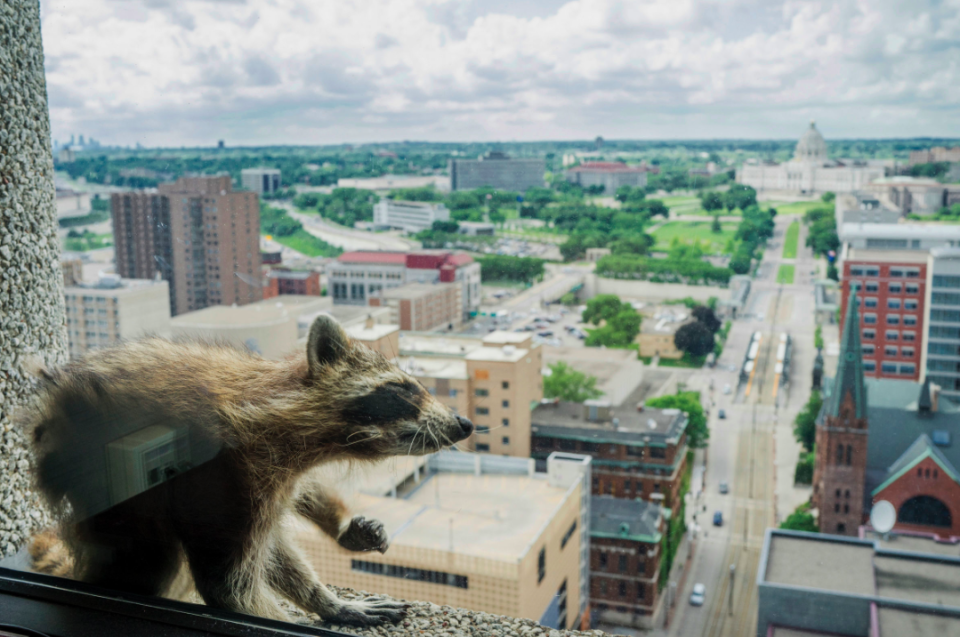 <em>The raccoon was stranded on the ledge of a building in Minnesota (PA)</em>