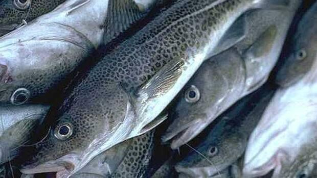 The latest assessment reveals that northern cod in the 2J3KL region of the south coast of Labrador and northeast coast of Newfoundland remain in the critical zone, and recommends that 'removals from all sources' be kept at the lowest levels possible. (CBC - image credit)