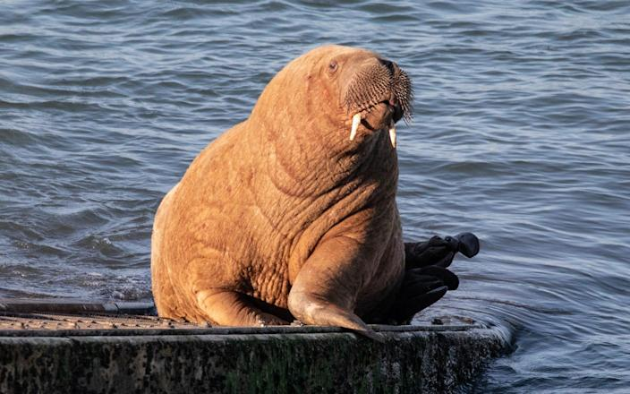 Wally Walrus is believed to have arrived from the Arctic on drift ice-Joann Randles / Cover-Images.com / Cover Images