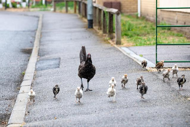 Dozens of chickens and six roosters now roam the residential roads around the estate known as Ashbrook Meadows (SWNS)