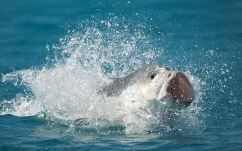 A giant trevally leaps from the water to catch a tern in flight - Credit: BBC