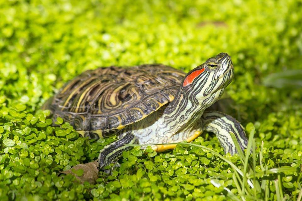 A turtle with a red streak on its head surrounded by greenery