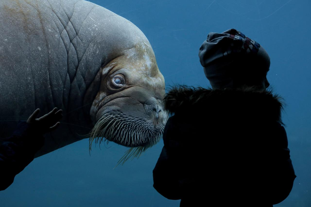 <p>A walrus swims in the aquarium in the Hagenbeck Animal Park in Hamburg, Germany, Monday, March 6, 2017. (Axel Heimken/dpa via AP) </p>