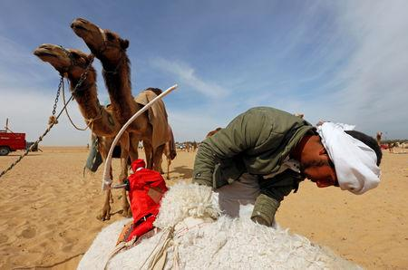 Mohamed Mostafa, a Bedouin breeder, fixes a robot jockey on his camel before the 18th International Camel Racing festival at the Sarabium desert in Ismailia, Egypt, March 12, 2019. Picture taken March 12, 2019. REUTERS/Amr Abdallah Dalsh