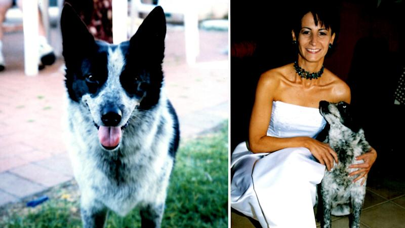 Blue-heeler-cross-kelpie Boofey (pictured). Second image shows Vicky Nonas in a wedding dress on her wedding day with Boofey beside her.
